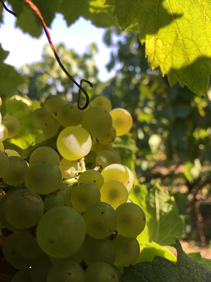 https://www.champagne-thevenet-delouvin.fr/wp-content/uploads/2020/02/chardonnay-crop.jpg